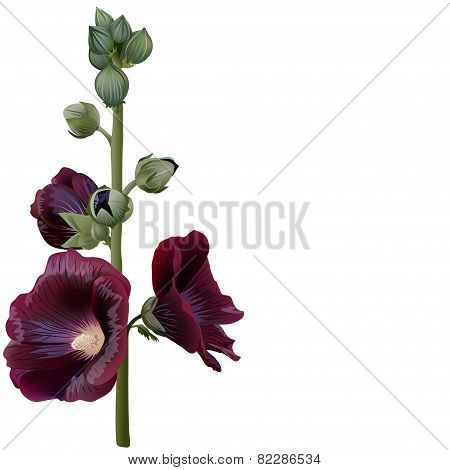 Realistic Illustration Of Claret Mallow (alcea) Isolated On White Background