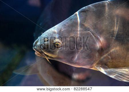 Carp Fish In Aquarium Or Reservoir Ubder Water