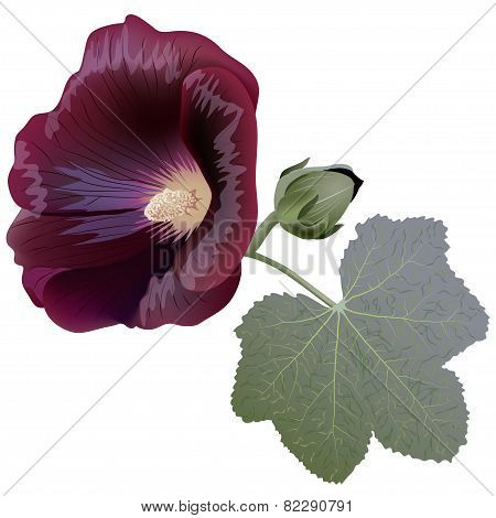 Realistic Illustration Of Claret Mallow Flower (alcea) Isolated On White Background