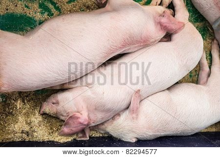 Sleeping Pigs On Farm. Farmland Industry