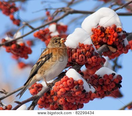 Brambling on branch of mountain ash