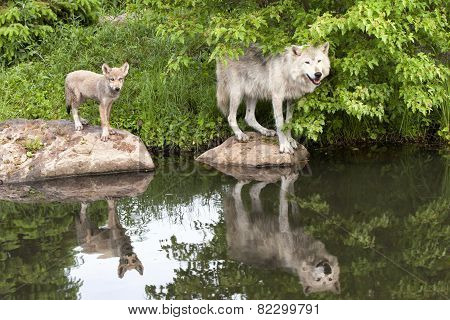Grey wolf and Pup with Reflection in Lake