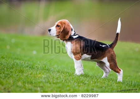 Beagle On Green Grass