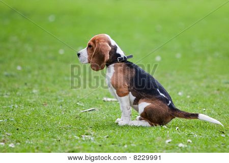 Beagle Sitting On Green Grass