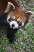 stock photo of panda  - The red panda Ailurus fulgens also known as Lesser Panda and Red Cat-Bear is a small arboreal mammal native to the eastern Himalayas and south-western China.
