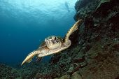 picture of green turtle  - A Hawaiian green sea turtle glides over the reef near Kona Hawaii - JPG