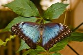 Blue Morpho Butterfly With Wings Spread
