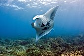 image of manta ray  - A coastal manta ray  - JPG