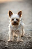 stock photo of yorkie  - Cute little yorkie with a puppy cut - JPG