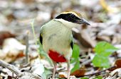 picture of fairy tail  - Fairy Pitta Pitta nympha Bird of Thailand