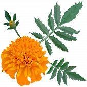 picture of marigold  - Realistic Illustration Of Orange Marigold Flower  - JPG