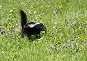 pic of skunk  - Young skunk walking through a spring meadow with little purple wildflowers - JPG