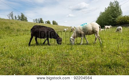 Black And White Sheep Peacefully Together Grazing