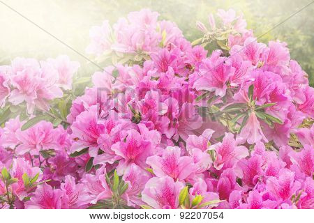 Flowers Of Rhododendron.