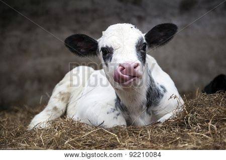 Very Young Black And White Calf In Straw Of Barn