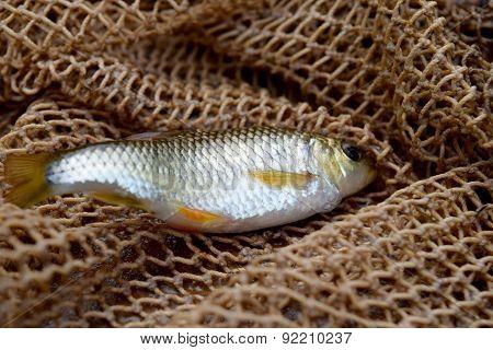 Little white fish on a fishing net