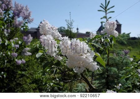 Flowering syringa