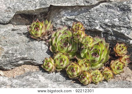 Houseleek grows between the stones on the rock, home garden (Sempervivum calcareum)
