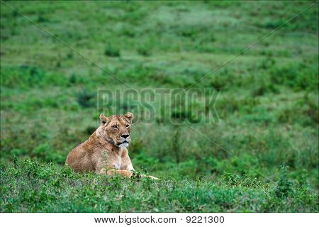 Lioness On A Grass.