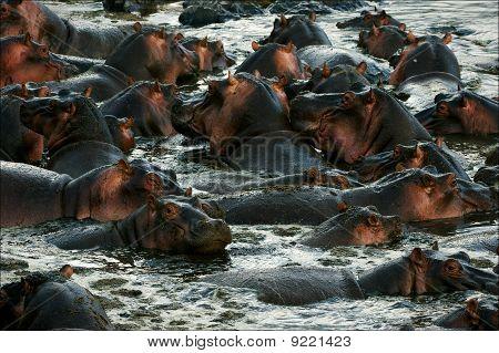 The Herd Of Hippopotamuses Bathes.