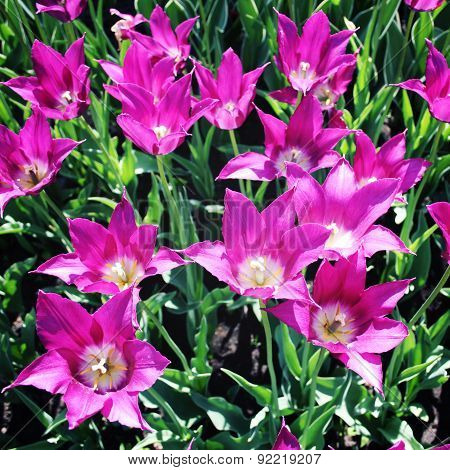 Purple Tulip Flowers. Vintage Photo. Closeup.