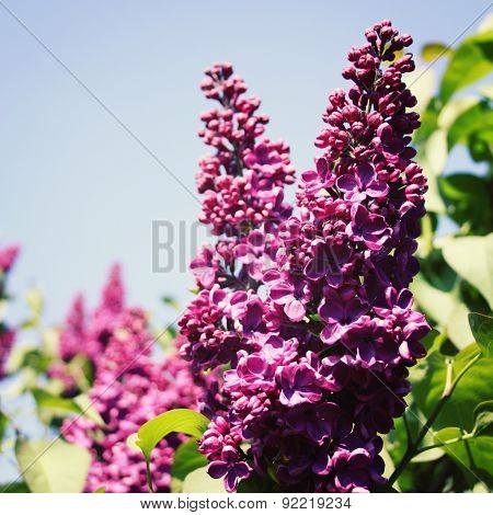 Lilac Flowers Bush And Blue Sky. Aged Photo. Macro.