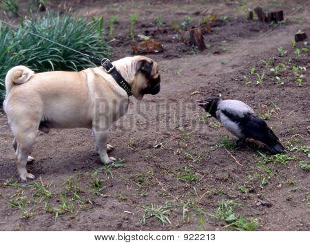 Pug And Crow