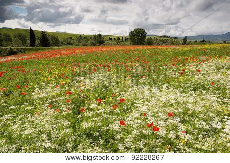 Poppies and wildflower field in the rolling hills of Tuscany near Pienza Italy