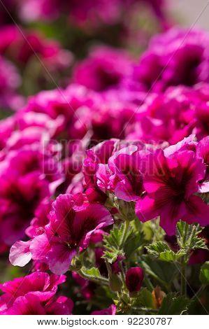 Pelargonium Flowers.