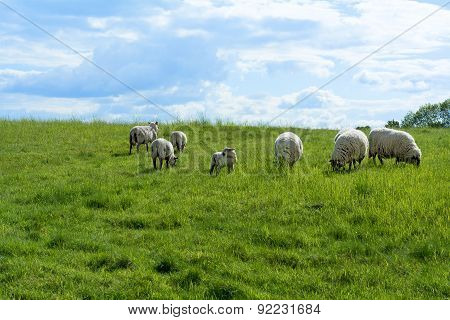 White Sheep And A Lamb On A Green Pasture Under Blue Sky