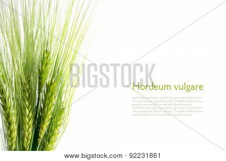 Bouquet Of Green Barley Ears Isolated On White Background, Sample Text