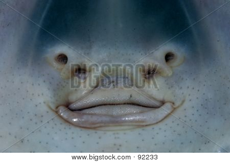 sand devil shark  Sand Shark Face
