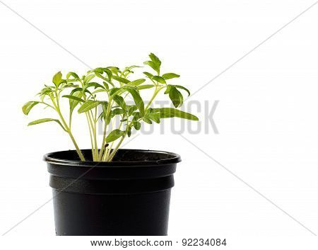 Tomato seedlings in a pot on white