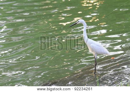 white egret at the lake