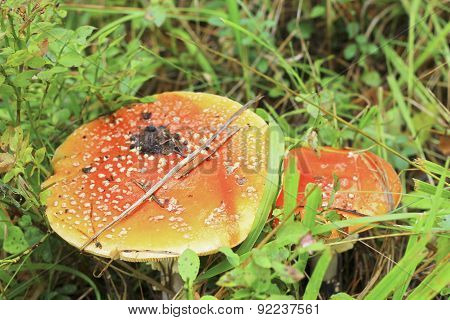 Red Toadstool Mushroom Growing In Autumnal Forest