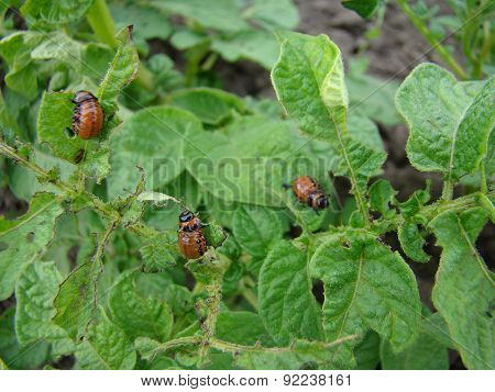 The Larva Of The Colorado Potato Beetle