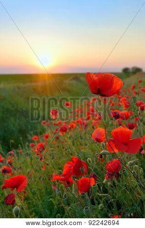Poppy Flowers Papaver Rhoeas In Spring