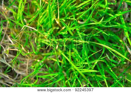 green plant background, young grass. background green juicy young grass lawn