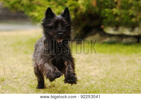 Carin terrier running