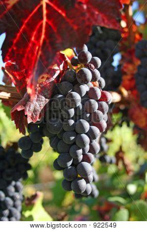 Ripe Wine Grapes In Autumn