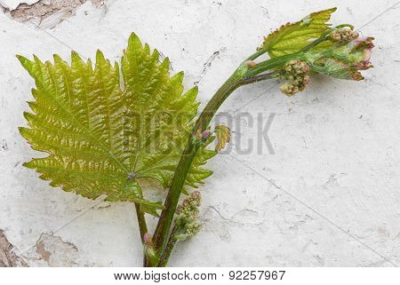 Grape Leaf With Blossoming Buds