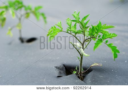 the sprout of a tomato on garden bed covered in black