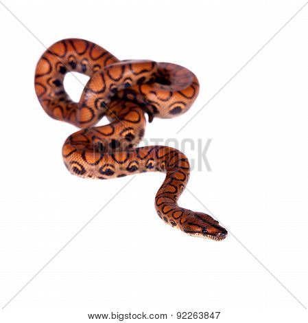 The rainbow boa or slender boa on white