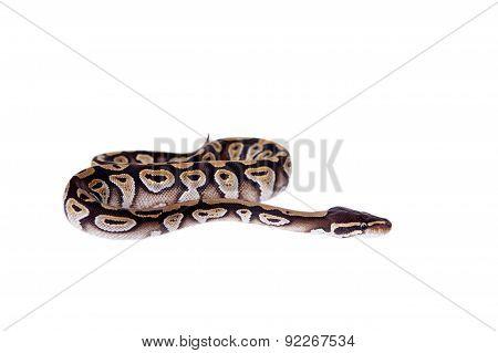Royal Python, or Ball Python on white