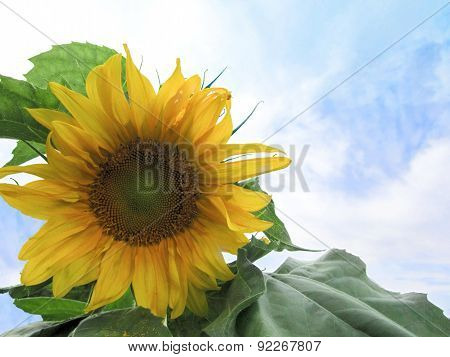 Mammoth sunflower against blue sky and clouds