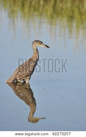 Yellow-crowned night heron juvenile hunting in the waters of Huntington Beach, South Carolina