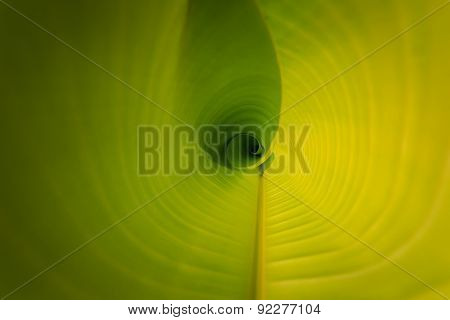 Texture Of Young Green Banana Leaf