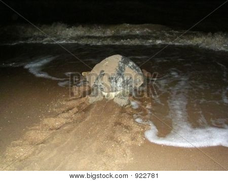 Turtle Returning To Sea