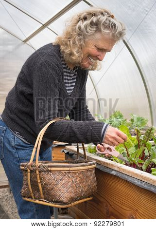 Woman Picking Organic Salad Greens In Greenhouse