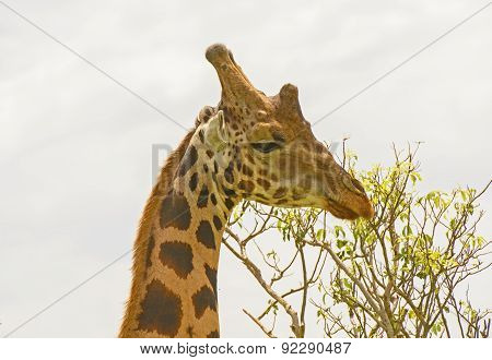 Head Of A Rothchild's Giraffe In The Veldt